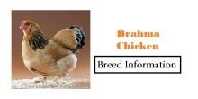 Brahma-Chicken Breed
