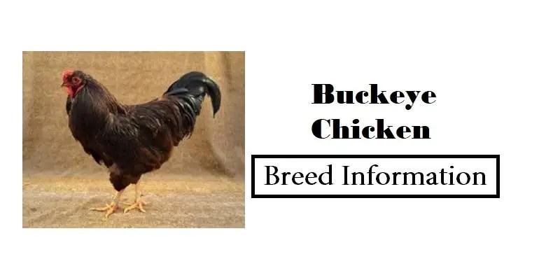 Buckeye Chicken Breed Information, Characteristics, Temperament