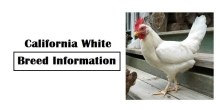 California White Chicken Breed