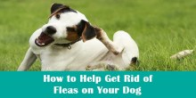 How to Help Get Rid of Fleas on Your Dog