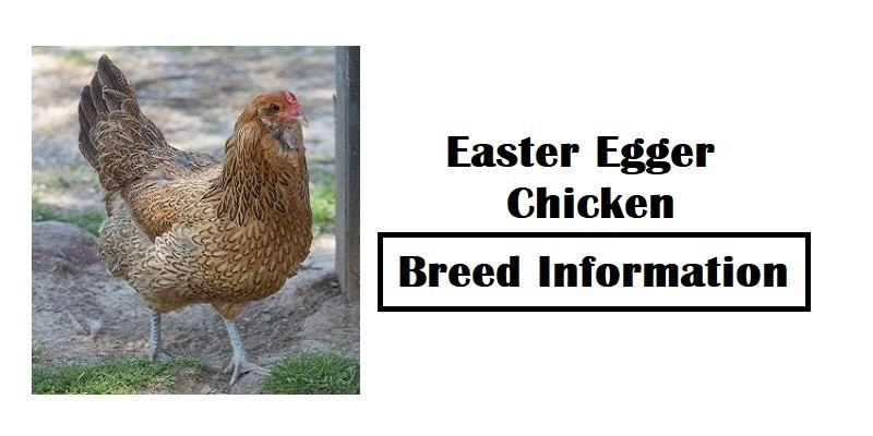 Easter Egger Chicken Breed Information, Characteristics, Temperament