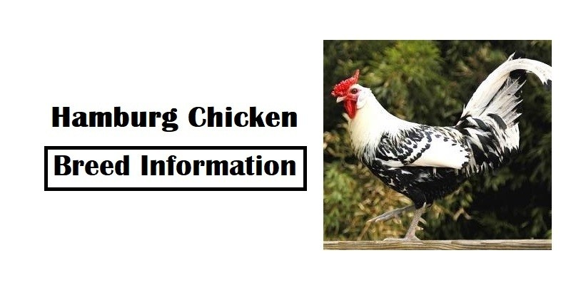 Hamburg Chicken Breed Information, Characteristics, Temperament