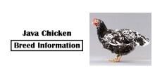 Java-Chicken-Breed