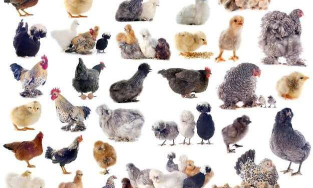 10 Brilliant Ways How To Choose The Best Chicken Breeds For Your Poultry Business in 2021
