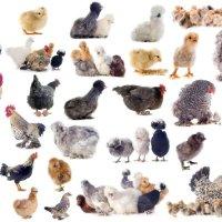 chicken types