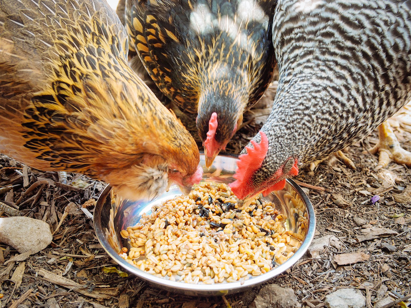 5 Great Scientific Reasons Why We Make Fermented Chicken Feed