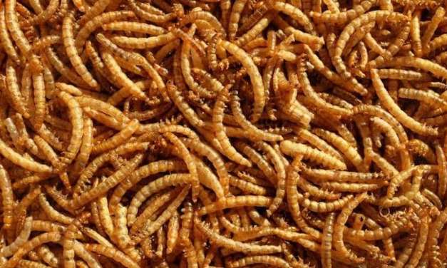 7 Reasons Why We Should Feed Chickens Mealworms
