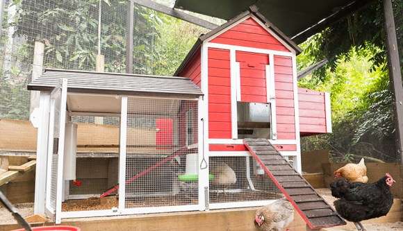 pet chicken in coop