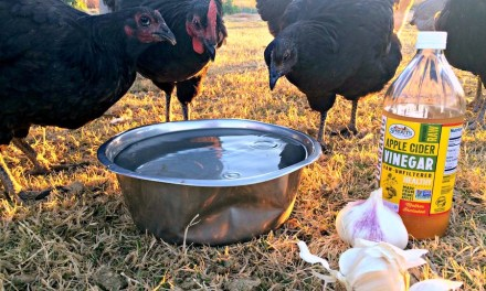 Best Ways To Boost Your Chickens Immune System