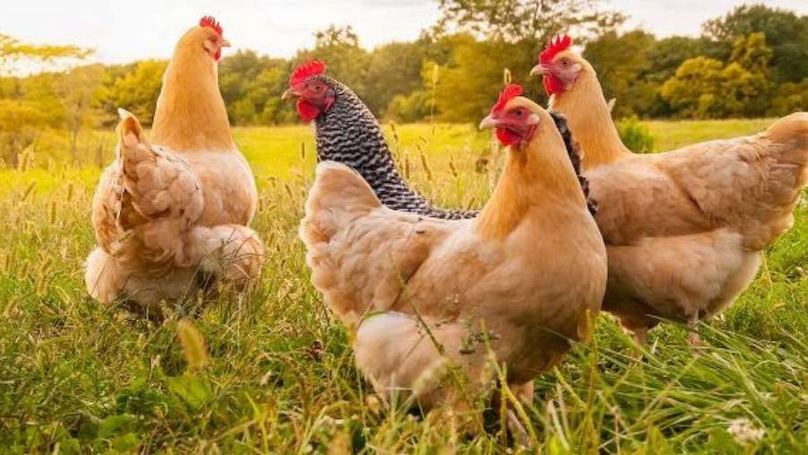 smart chickens