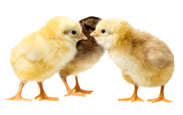 baby day old chicks
