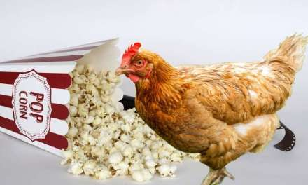 Popcorn for Chickens: 5 Amazing Things You Need to Know