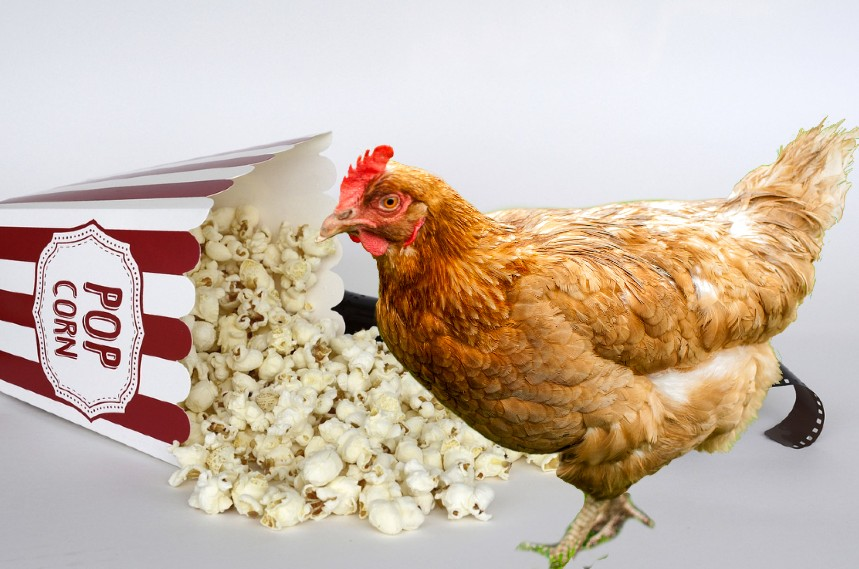 Popcorn for chickens