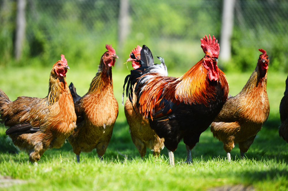 nutrition for chickens