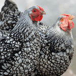 7 Astounding Reasons to be Addicted to Wyandotte Chicken