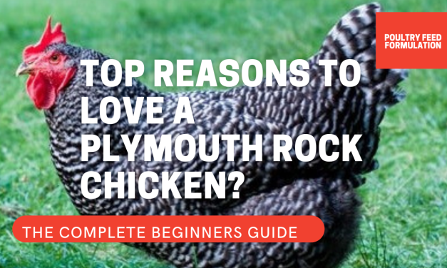 9 Fascinating Reasons People Like Plymouth Rock Chicken