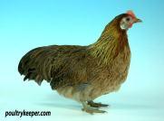 Ohiki Bantam Female