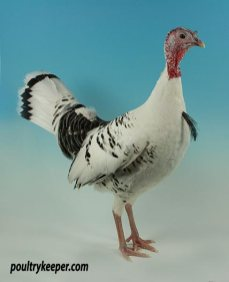 Champion Turkey