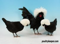 White Crested Black Polands