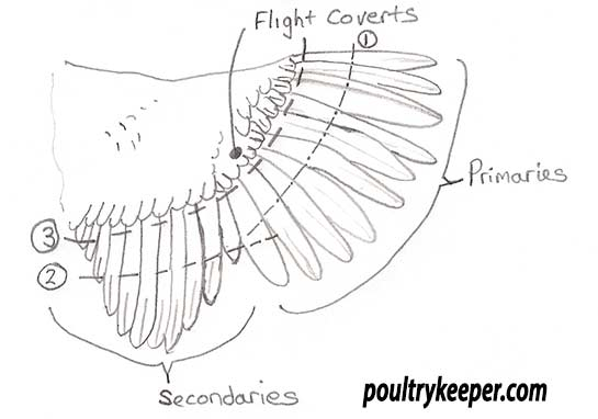 Chicken Wing Clipping duck wing feather diagram