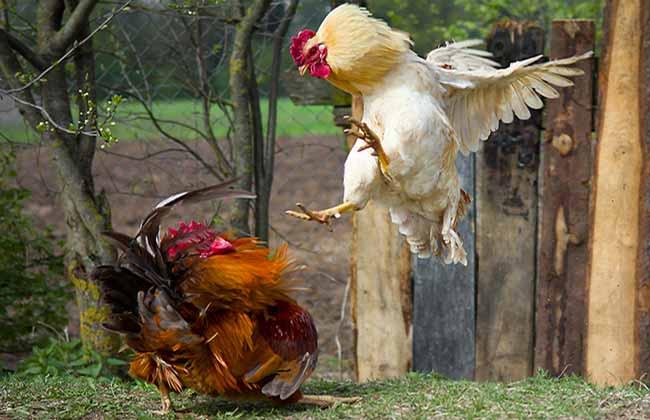 Cockerels Fighting