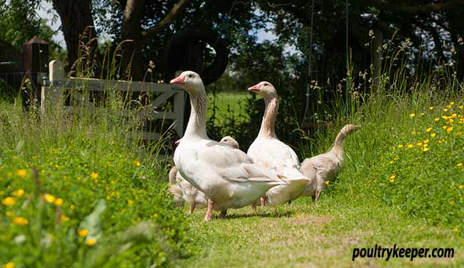 family of geese