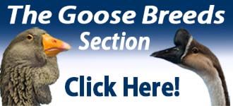 Goose Breeds Section