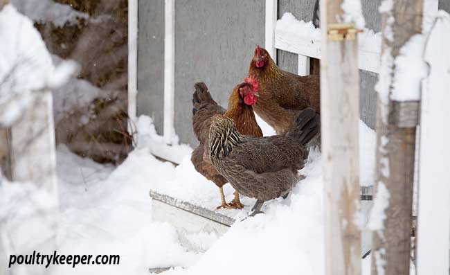 Welsummer Chickens in the Snow