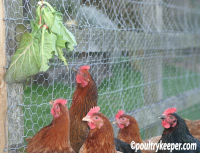 chickens-fresh-greens