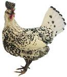 Appenzeller Spitzhauben Chicken