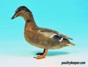Call Duck