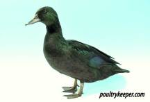 Black East Indian Duck