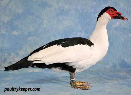 Black Magpie Muscovy Drake