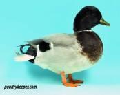 Male Mallard Call Duck
