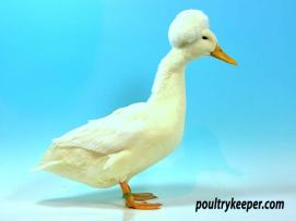 White Crested Duck