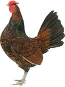 Derbyshire Redcap Chicken