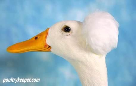 Head of Bali Duck