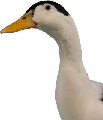 Head of Magpie Duck