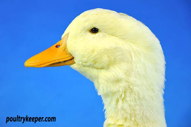 Head of Pekin Duck