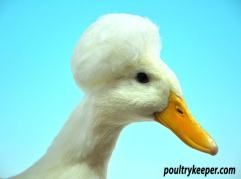 Head-of-White-Crested-Duck