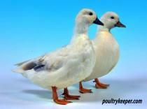 Pair of Call Ducks