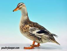 Silver Appleyard Miniature Duck
