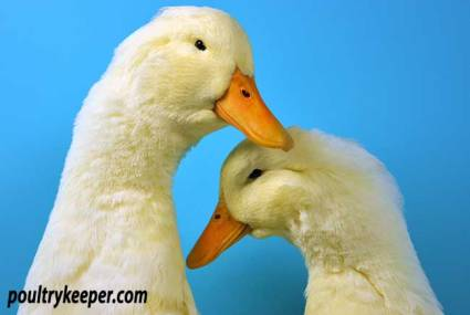 Pair of Pekin Ducks