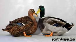 Pair of Rouen Ducks