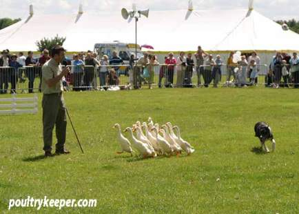 Sheep Dog Training with Indian Runner Ducks