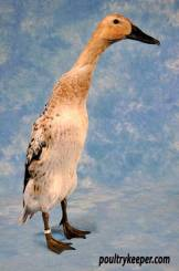 Silver Indian Runner Duck.