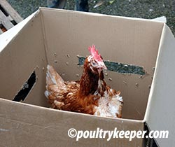 Battery Hen in Box
