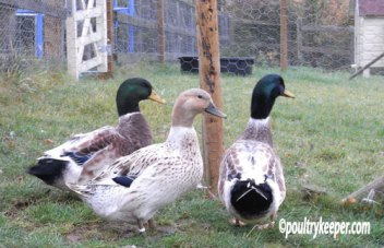 Abacot Ranger Ducks