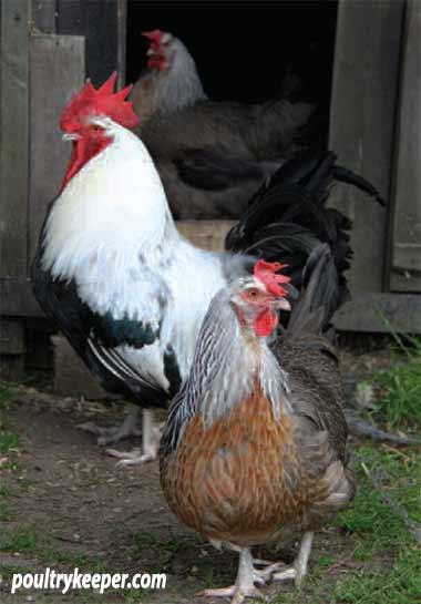 Silver Dorking Chickens