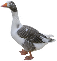 West of England Goose